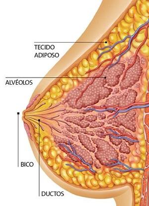 anatomia_seio